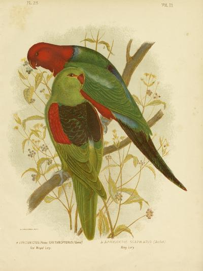 Red-Winged Lori or Red-Winged Parrot, 1891-Gracius Broinowski-Giclee Print