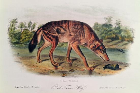 Red Wolf from 'Quadrupeds of North America', 1842-45-John Woodhouse Audubon-Giclee Print