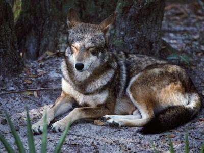 Red Wolf Sleeping (Canis Rufus)-Jeff Foott-Photographic Print