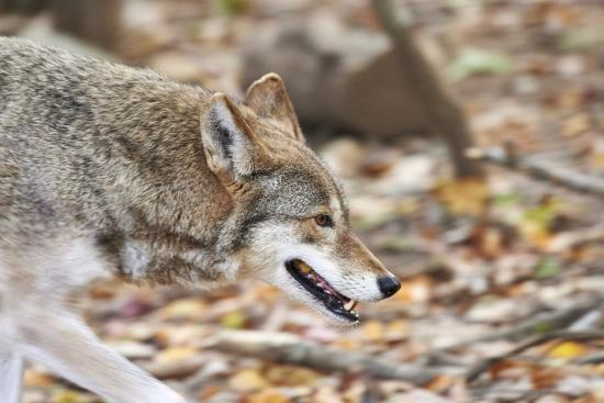 Red Wolf-Gary Carter-Photographic Print