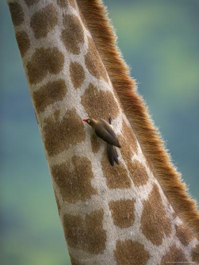 Redbilled Oxpecker, on Giraffe, Kruger National Park, South Africa, Africa-Ann & Steve Toon-Photographic Print