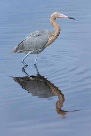 Reddish egret, Egretta rufescens, Merritt Island NWR, Florida, USA-Maresa Pryor-Premium Photographic Print