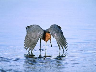 Reddish Egret Fishing, Ding Darling National Wildlife Refuge, Sanibel Island, Florida, USA-Charles Sleicher-Photographic Print