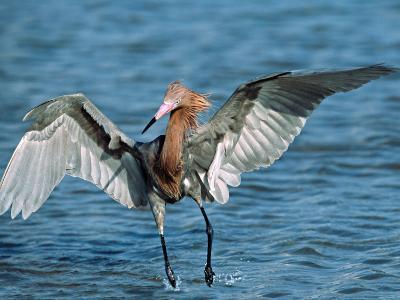 Reddish Egret Fishing in Shallow Water, Ding Darling NWR, Sanibel Island, Florida, USA-Charles Sleicher-Photographic Print