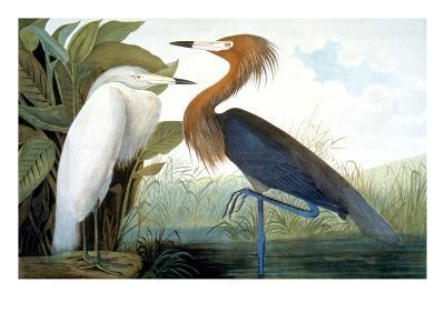 Reddish Egret,-John James Audubon-Giclee Print