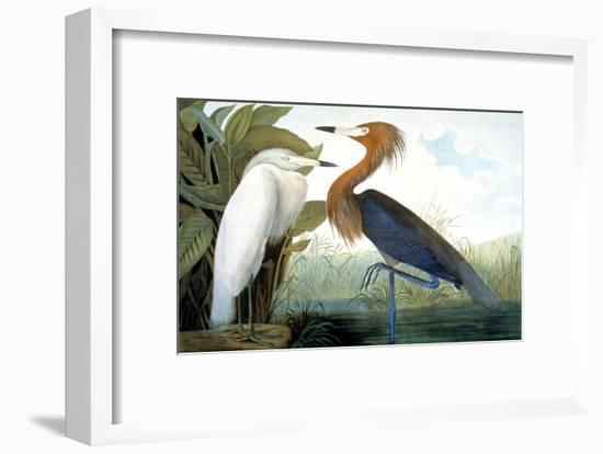 Reddish Egret,-John James Audubon-Framed Giclee Print