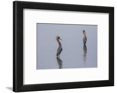 Reddish egrets (Egretta rufescens) standing in bay.-Larry Ditto-Framed Photographic Print