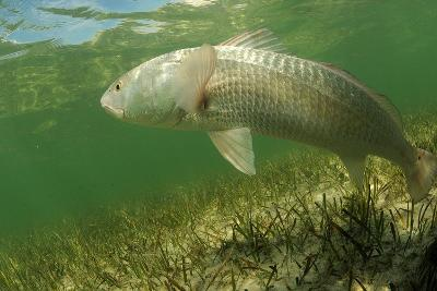 Redfish is Swimming in the Grass Flats Ocean-ftlaudgirl-Photographic Print