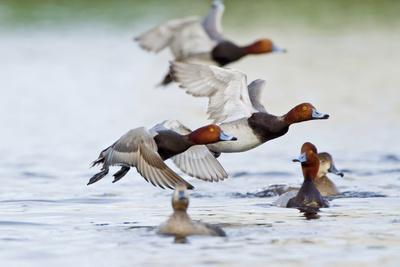 https://imgc.artprintimages.com/img/print/redhead-duck-flock-flying-from-freshwater-pond-texas-usa_u-l-pn6os20.jpg?p=0