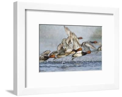 Redhead Duck Flock Flying from Freshwater Pond, Texas, USA-Larry Ditto-Framed Photographic Print