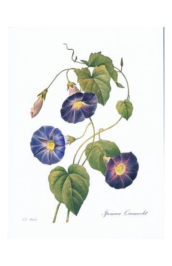 Redoute Ipomaea Quamoclit-Pierre-Joseph Redout?-Art Print