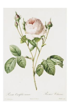 Redoute Rosa Centifolia Carnea-Pierre-Joseph Redout?-Art Print