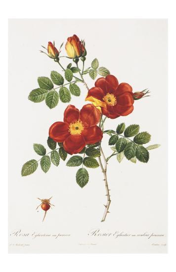 Redoute Rosa Eglanteria var. punicea-Pierre-Joseph Redout?-Art Print