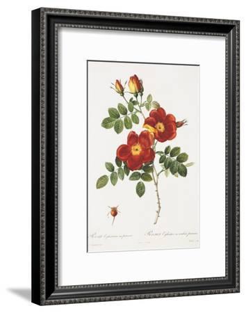 Redoute Rosa Eglanteria var. punicea-Pierre-Joseph Redouté-Framed Art Print