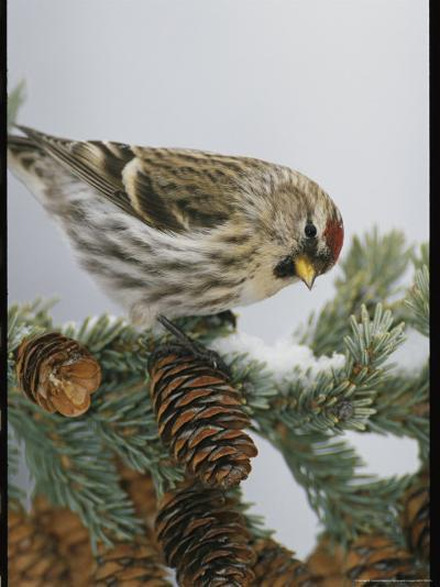 Redpoll Finch Perched on a Snow-Dappled Fir Branch with Cones-Michael S^ Quinton-Photographic Print