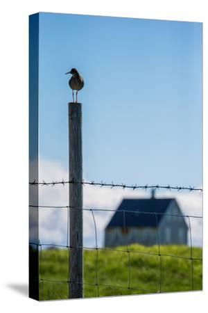 Redshank (Tringa Totanus), Flatey Island, Breidafjordur, Iceland