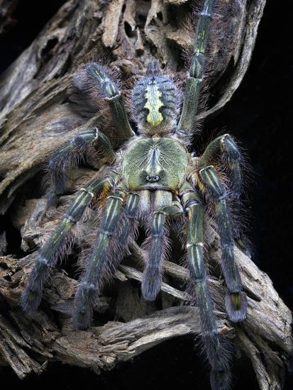 Redslate Ornamental Tarantula (Poecilotheria Rufilata), Captive  Photographic Print by Michael Kern   Art com