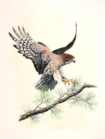 Redtail Landing-Chris Forrest-Limited Edition