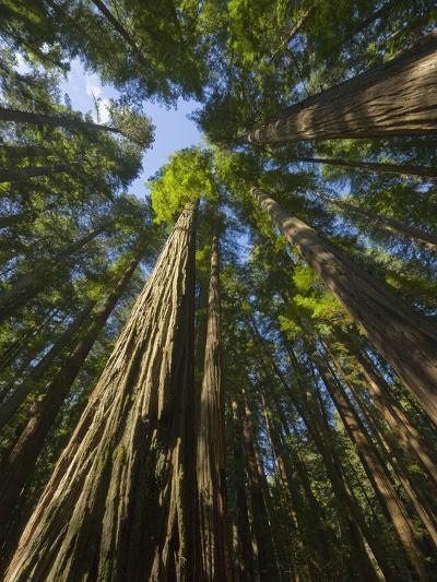 Redwood forest in Humboldt Redwood State Park-John Eastcott & Yva Momatiuk-Photographic Print
