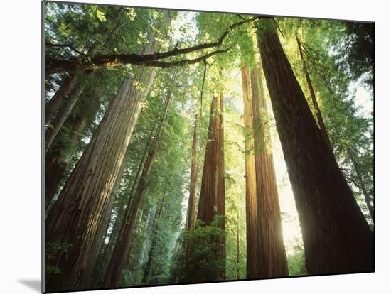 Redwood Forest-Jim Zuckerman-Mounted Photographic Print