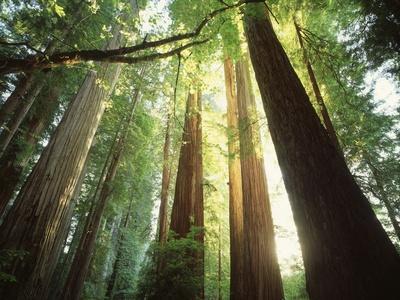 https://imgc.artprintimages.com/img/print/redwood-forest_u-l-pzltqt0.jpg?p=0
