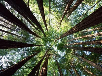 Redwood Grove-Douglas Steakley-Photographic Print