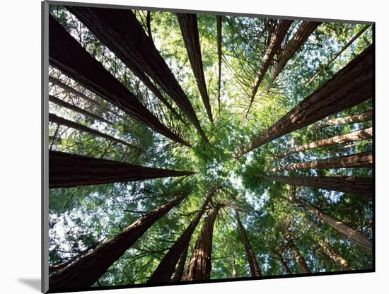 Redwood Grove-Douglas Steakley-Mounted Photographic Print