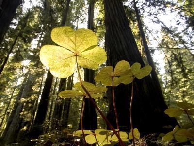 Redwood Sorrel Plants, Oxalis Oregana, in the Forest-Phil Schermeister-Photographic Print
