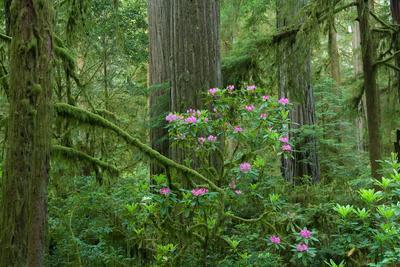 Redwood Trees and Rhododendron Flowers in a Forest, Jedediah Smith Redwoods State Park--Photographic Print