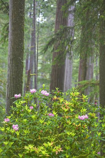 Redwood Trees and Rhododendrons in Forest-Terry Eggers-Photographic Print