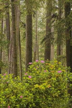 https://imgc.artprintimages.com/img/print/redwood-trees-and-rhododendrons_u-l-pu3ulb0.jpg?p=0