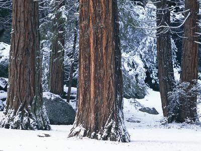 Redwood Trees Dusted with Snow in Yosemite National Park-Marc Moritsch-Photographic Print