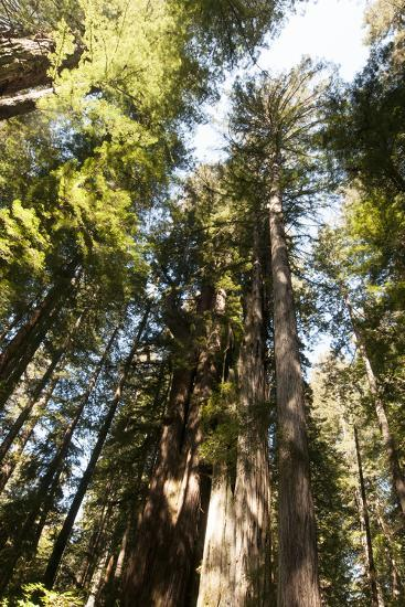 Redwood Trees Growing in a Forest-Nicole Duplaix-Photographic Print