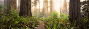 Redwood Trees in a Forest, Redwood National Park, California, USA