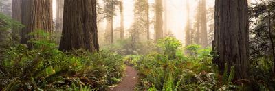 https://imgc.artprintimages.com/img/print/redwood-trees-in-a-forest-redwood-national-park-california-usa_u-l-psnmnr0.jpg?p=0