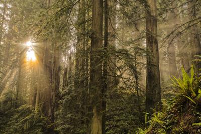 https://imgc.artprintimages.com/img/print/redwood-trees-in-morning-fog-with-sunrays_u-l-pu3vca0.jpg?p=0