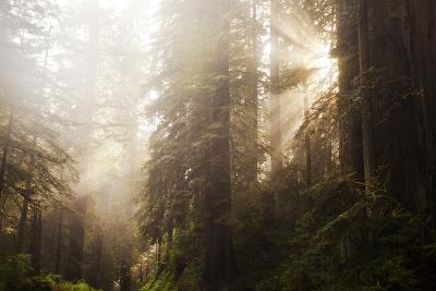 Redwood Trees in Morning Fog with Sunrays-Terry Eggers-Photographic Print