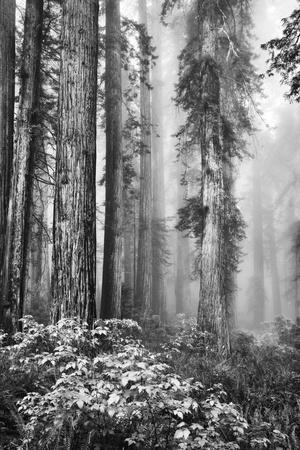 https://imgc.artprintimages.com/img/print/redwood-trees-in-morning-fog-with-sunrays_u-l-pu3w6v0.jpg?p=0