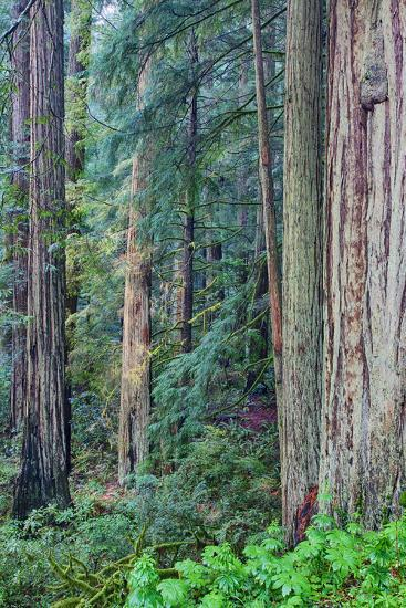 Redwood Trees in Morning Fog-Terry Eggers-Photographic Print