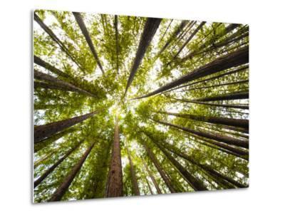 Redwood Trees in Mt. Tamalpais State Park, Adjacent to Muir Woods National Monument in California-Carlo Acenas-Metal Print
