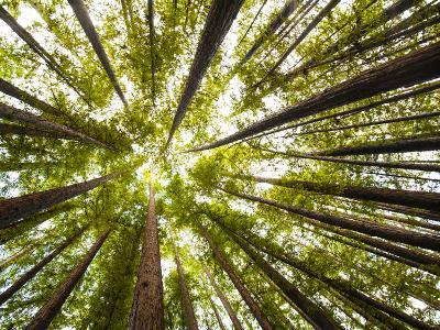 Redwood Trees in Mt. Tamalpais State Park, Adjacent to Muir Woods National Monument in California-Carlo Acenas-Photographic Print