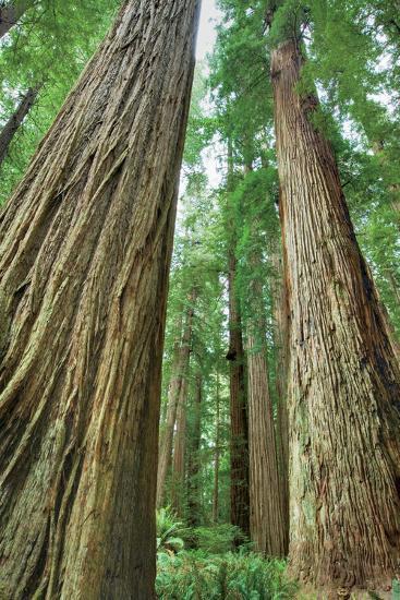 Redwoods Forest II-Alan Majchrowicz-Photo