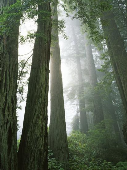 Redwoods in fog, Redwood National Park, California, USA-Charles Gurche-Photographic Print