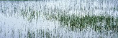 Reed Filled Pond, Isle of Mull, Scotland, United Kingdom--Photographic Print