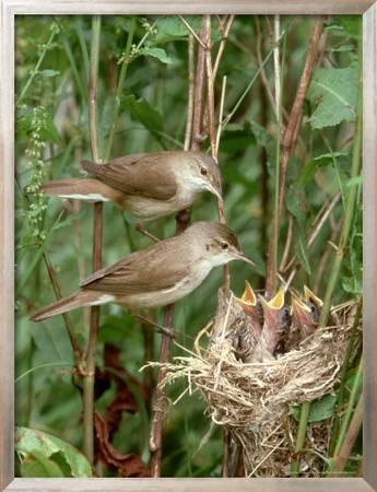 Reed Warbler Acrocephalus Scirpaceus Pair At Nest With Chicks Uk Photographic Print Mark Hamblin Art Com