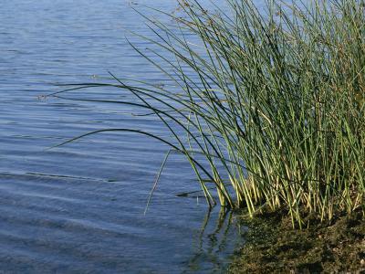 Reeds Along the Shore of Black Hill Lake, Black Hill Regional Park-Brian Gordon Green-Photographic Print