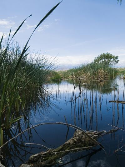 Reeds Growing in a River-James Forte-Photographic Print