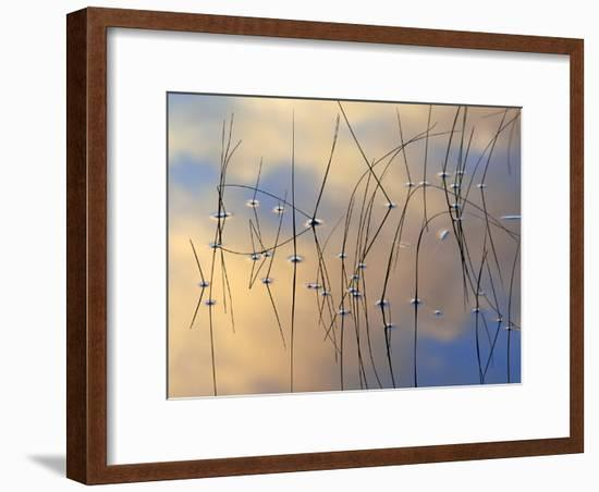 Reeds in Water with Reflection, Scotland-Iain Sarjeant-Framed Photographic Print