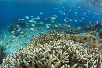 Reef Fishes Amongst Profusion of Hard Plate at Pulau Setaih Island, Natuna Archipelago, Indonesia-Michael Nolan-Photographic Print