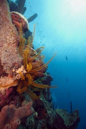 Reef Scene with Feather Star, Dominica, West Indies, Caribbean, Central America-Lisa Collins-Photographic Print